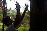 Cotmee Village near Meulaboh - Aceh, Indonesia  Nov. 2008. (Heifer Participant) Zainun Arif harvests raw rubber on Supardi's land. The price of all commodities has dropped drastically in the last fee months.