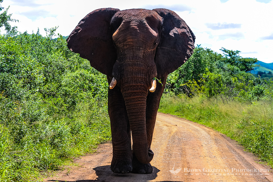 African Bush Elephant on the road. Hluhluwe-Umfolozi Game Reserve, South Africa.