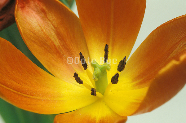 Close up of an orange and yellow tulip