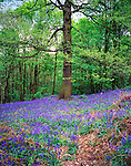 Bluebells in a Spring wood