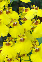 Yellow Dancing Lady orchids Oncidium Sweet Sugar 'Million Dollar'