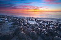 Horeshoe crab breeding on the Atlantic Coast, Moore's Beach, Delaware Bay, New Jersey
