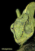 CH29-012z  African Chameleon - eyes rotate completely and independently of each other - Chameleo senegalensis