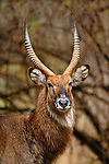 Common Waterbuck, Rift Valley Region, Kenya