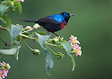 Red-chested Sunbird (Nectarinia erythrocerca) in Rwanda