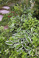 Hosta on edge of meadow garden front yard lawn substitute, St Louis Missouri; Matt Moynihan design