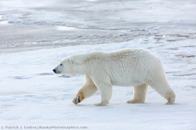 Female bear walks on the ice forming on the Beaufort Sea, Arctic, Alaska.