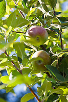 Macintosh apples on a tree