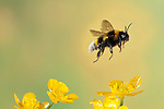 Bumble Bee, Bombus Hortorum, in flight, free flying over yellow buttercup flowers, high speed photographic technique, longest tongue of UK bees.United Kingdom....