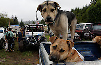 Dogs wait in the pick up truck at  mud bog event on Prince of Wales Island.