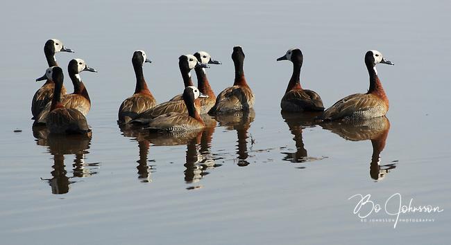 Whistling teal aka whitefaced duck (dendrocygna viduata).<br /> Moremi, Botswana.<br /> September 2007.