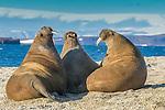 Antlantic walrus, Svalbard, Norway