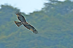 The Black Kite (Milvus migrans) is a medium-sized bird of prey in the family Accipitridae, frequently seen in Hong Kong.
