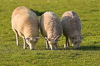 Sheep grazing at Sheepdrove Organic Farm, Lambourn, England