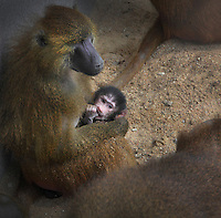 Female Guinea Baboon (Papio papio) holding her baby, who is sucking its thumb, in the Zone Sahel-Soudan of the new Parc Zoologique de Paris or Zoo de Vincennes, (Zoological Gardens of Paris or Vincennes Zoo), which reopened April 2014, part of the Musee National d'Histoire Naturelle (National Museum of Natural History), 12th arrondissement, Paris, France. Picture by Manuel Cohen