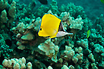 Common Longnose Butterflyfish, Forcipiger flavissimus,  lauwiliwilinukunuku?oi?oi, Jordan & Evermann, 1898, Molokai Hawaii