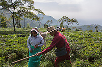 India – West Bengal: Rajah Banerjee, the chairman of Makaibari Tea Estates, showing a tea plucker the height from where she has to collect leaves. Makaibari is one of the most famous Darjeeling tea brands and was an official partner of the 2008 Beijing Olympic games.
