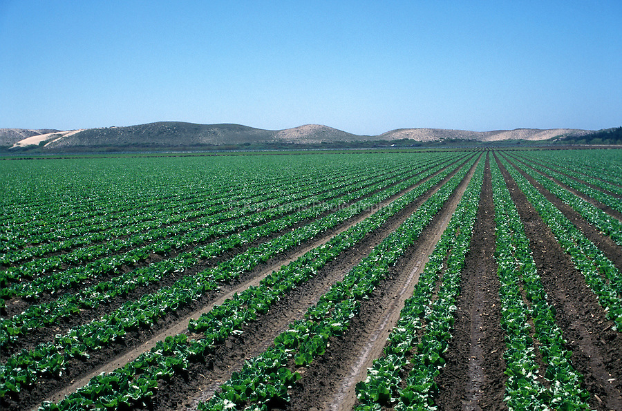 A lettuce Field near Salinas Valley, CA