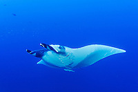 Manta birostris, Riesenmanta, Manta, Ozeanischer Mantarochen, Giant Manta Ray, devilray, devilfish, devil ray or devil fish, Brother Inseln, Kleiner Bruder, Rotes Meer, Ägytpen, Little Brother, Brother Islands, Brothers, Red Sea, Egypt