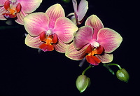 Phalaenopsis Fajen's Sugar Cookie orchid hybrid of Deventeriana x equestris, multi floral orchid, miniature flowers, miniature orchid yellow and pink, stripes, colored lip