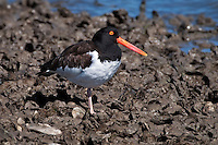 American Oystercatcher standing on one leg