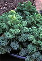 Borecale Showbor  Dwarf Green Curly Kale Collards similar to winterbor, miniature vegetable