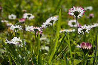 Lawn daisies (Bellis perennis) amidst the grass on a sunny day.