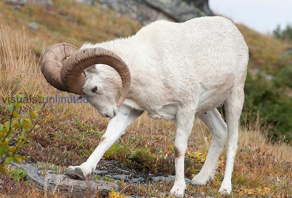 Dall Sheep ram (Ovis dalli), Alaska, USA