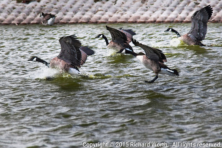 A skein of geese lands at the so-called Duck Pond in San Lorenzo, California.