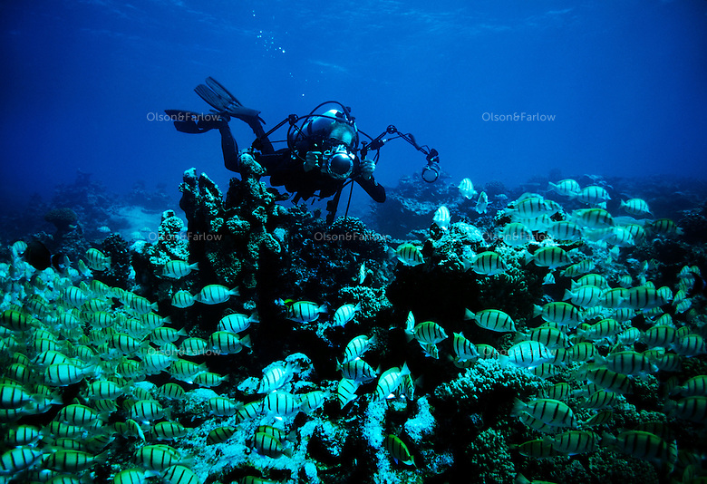 """Photographer Randy Olson working underwater in military canal, Palmyra Atoll.  Olson and Gary Bell were the first to dive this area under the auspices of the Nature Conservancy. The largest purchase to date for the Nature Conservancy is the Palmyra an atoll situated about 300 miles north of the equator.  Palmyra has five times as many coral species as the Florida Keys and three times as many as Hawaii.  It is home to the world's largest invertebrate, the rare coconut crab, and a population of red-footed booby birds second only to that of the Galapagos.  It is the last marine wilderness area left in the U.S. tropics and is home to the last remaining stands of Pisonia grandis beach forest in the world.  Palmyra was a US Navy supply base in World War II, the site of a proposed nuclear waste dump, an unsuccessful coconut plantation and of various development schemes.  Palmyra is most famous for the 1974 slaying  of a married couple which became the subject of the best-selling book """"And the Sea Will Tell,"""" by Vincent Bugliosi."""