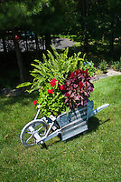"Garden cart antique rustic weathered ornament wheelbarrow container garden with patriotic flag ""Old Glory"" sign, ferns, annual flowers celosia, pelargonium, on lawn under Pinus strobus white pine tree"