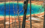 Bleached trunks of pines burned in 1988 fire frame the largest hot spring in Yellowstone