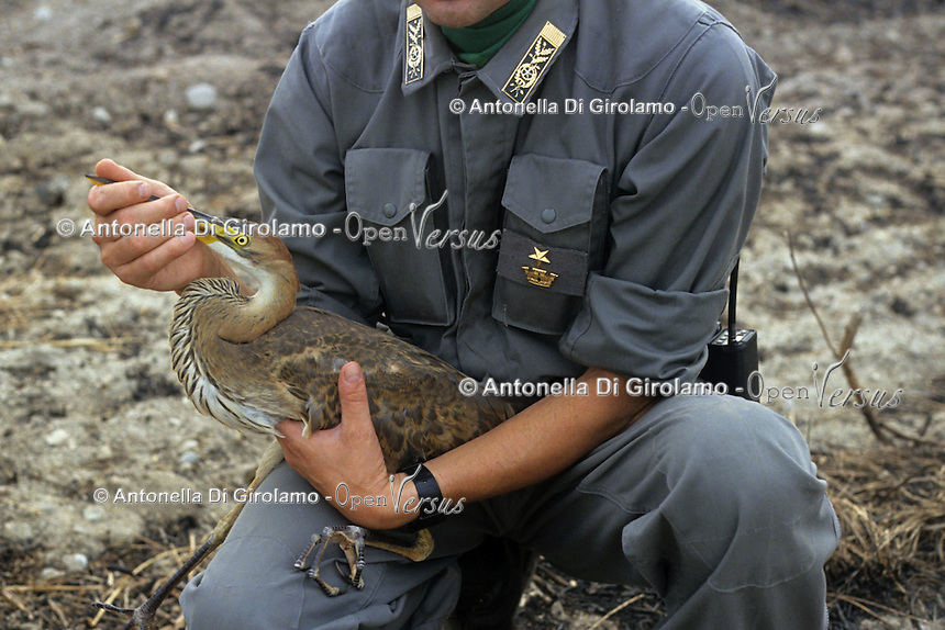Forestali recuperano un airone rosso ferito nell' incendio.Forestry recovery of a wounded red heron, during fire....