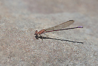 338240006 a wild male amethyst dancer argia pollens perches on a rock at parker canyon lake cochise county arizona