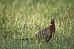 Rooster Pheasant in spring grass