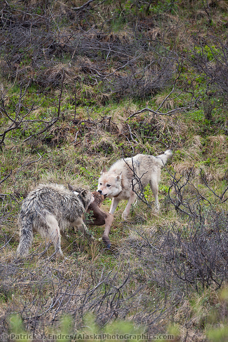 Grant Creek alpha male and alpha female wolf feed on a recently killed moose calf, Denali National Park, interior, Alaska.