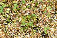Microgreens Sprouts: Arugula aka Rocket Erica sativa