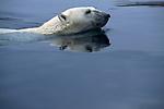 A polar bear swims through the water at Wager Bay, Nunavut, Canada.