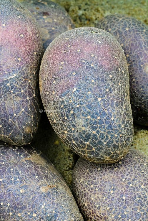 Purple Potatoes 'Purple Early' Solanum