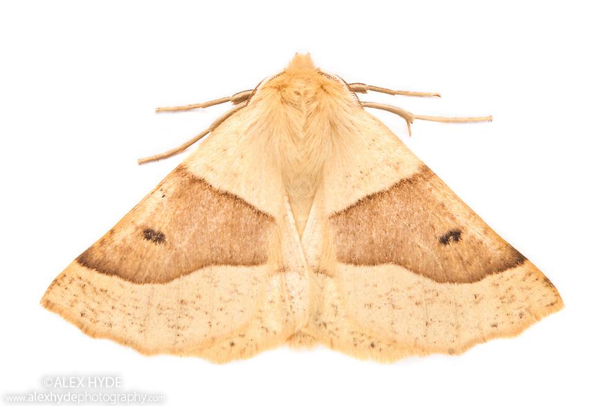 Scalloped Oak (Crocallis elinguaria) moth photographed on a white background in mobile field studio. Peak District National Park, Derbyshire. UK.