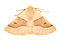 Scalloped Oak (Crocallis elinguaria) moth photographed on a white background in mobile field studio. Peak District National Park, Derbyshire. UK.