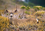 Black-tailed buck, Point Lobos State Reserve, California, USA