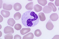 Leukocyte or white blood cell without a drumstick in a human male blood smear. LM X1000.