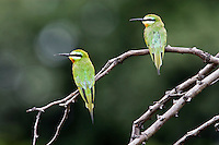Two Blue-cheecked Bee-eaters resting on branch, Botswana