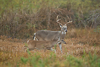 Whitetail buck in Texas chasing doe during rut