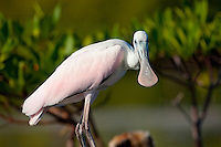 A roseate spoonbill (Ajaja ajaja) bird rests along the banks of a mangrove forest in Cuba.