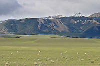 Pronghorn antelope herd during early summer at the western edge of the Bighorn Basin