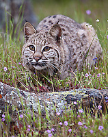 Bobcat stalking prey through the grass and wildflowers - CA