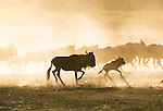 White-bearded wildebeests, Lake Ndutu region, Tanzania