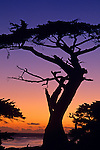 The Witch tree silhouetted at sunset over Pacific ocean along 17 mile drive Monterey California USA